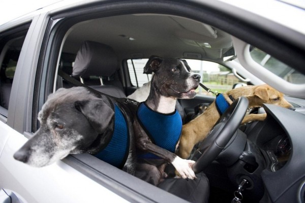 Volkswagen Paw Wheel Drive 600x399 at Paw Wheel Drive: Volkswagen Teaches Dogs to Drive