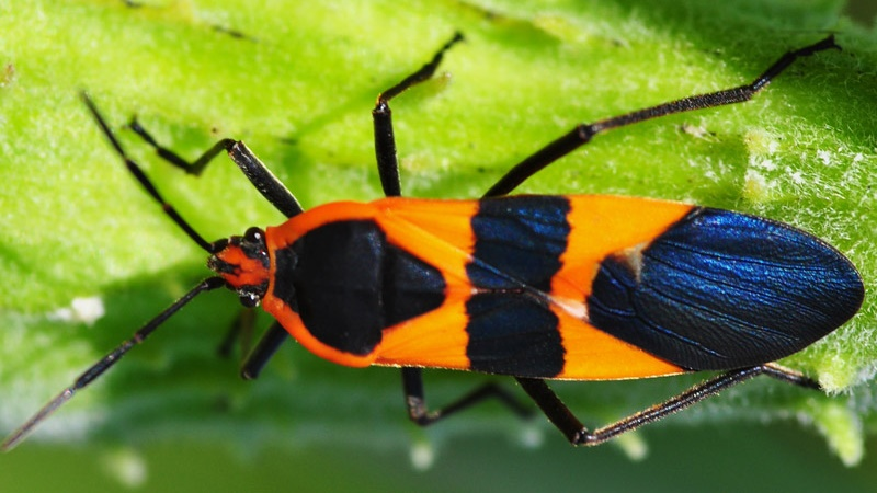 large milkweed bug new york at Is This the Most Unique McLaren P1 MSO Yet Seen?